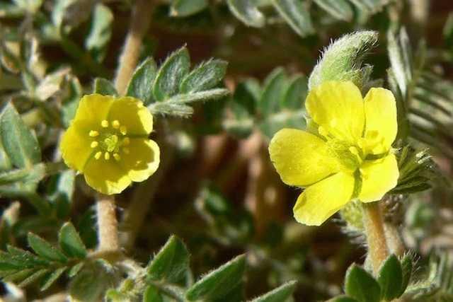 traitement impuissance masculine plantes tribulus terrestris